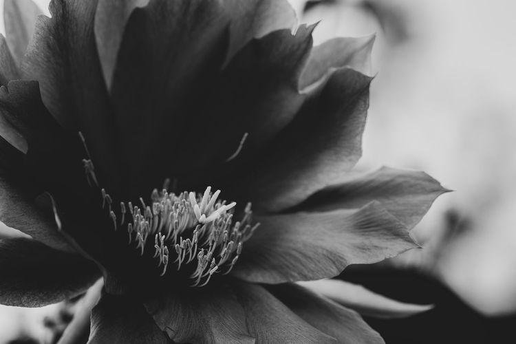Puestos de votación Black & White Beauty In Nature Black And White Blackandwhite Close-up Flower Flower Head Flowering Plant Fragility Freshness Growth Petal Plant Selective Focus Vulnerability