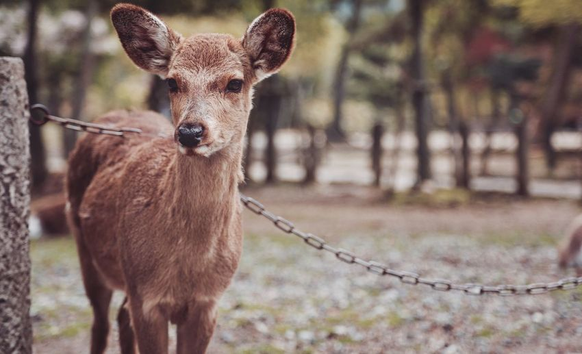 Portrait Of Deer On Field