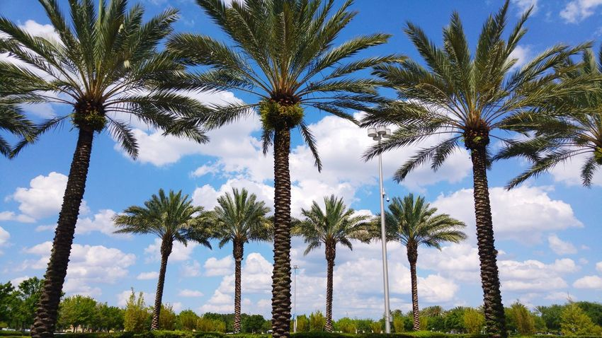 Palm Tree Anaheim Beauty In Nature Nature Outdoors No People Sky Green Color Green Palmtrees Cloud - Sky Clouds White Tree Nature Beauty In Nature Godaminnen