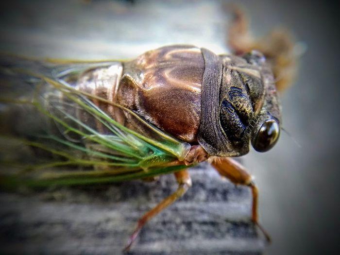 Cicada...