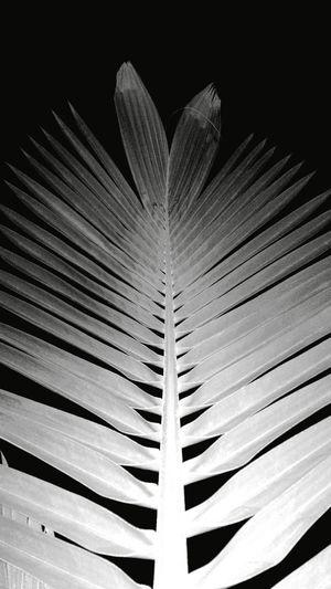 Monochrome Photography Leaf Palm Tree Palm Leaf Pattern Textured  EyeEm Best Shots Eyeemphotography Karachi EyeEm TakeoverContrast EyeEmBestPics Eye4photography  Mobile Photography