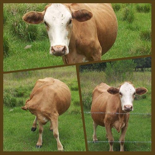 Nosey lil cow Moolander Bluesteel Cow Youcanmilkanythinkwithnipples moomoo