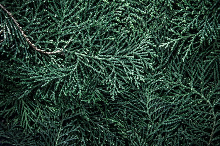 Full Frame Shot Of Pine Leaves