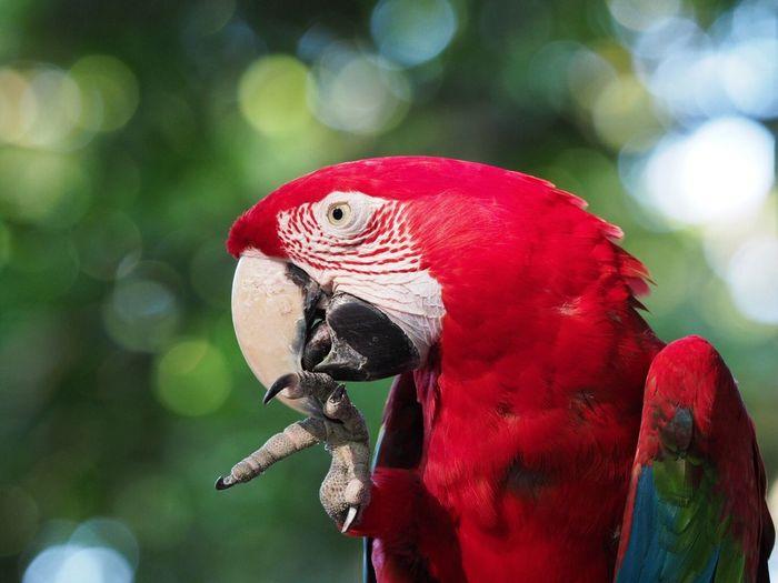 Animal Themes One Animal Animal Parrot Vertebrate Red Bird Animal Wildlife Nature No People