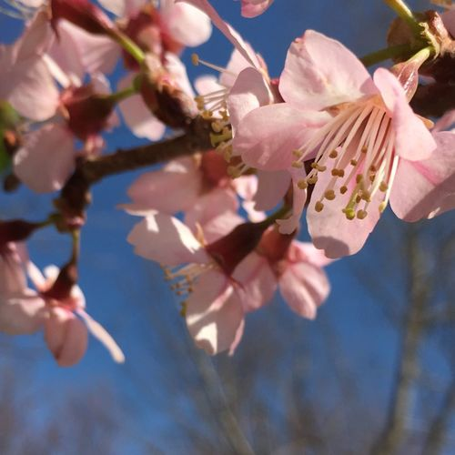 In love Fragility Sunlight Growth Nature Beauty In Nature Close-up Petal Pink Color Branch Low Angle View Day Flower Head Outdoors No People Freshness Springtime Blossom Tree Sky