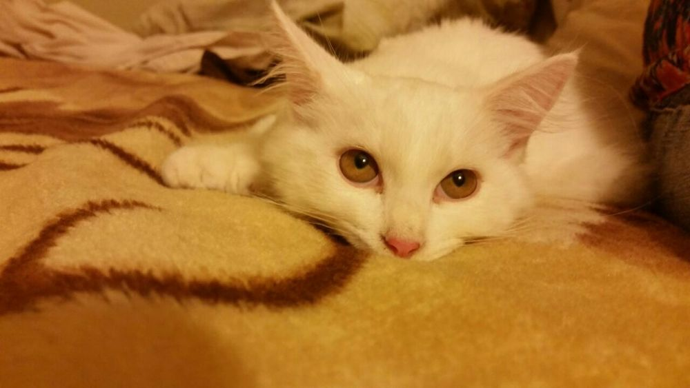 Puertorico Kanyn Angoracat Angora Mymomcat Catlovers Cat Cat♡ Gato