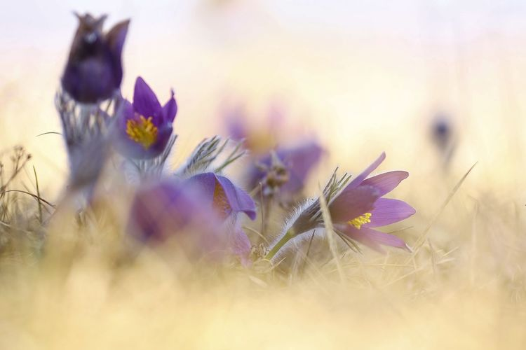 Beauty In Nature Close-up Crocus Field Flower Flower Head Flowering Plant Fragility Freshness Growth Inflorescence Land Nature No People Outdoors Petal Plant Purple Selective Focus Softness Tranquility Vulnerability