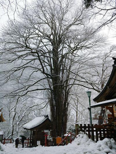 这树的名字,关乎月亮,关乎爱情Katsura Tree Winter Kifunejinja Snowing Kyoto,japan Tree Love