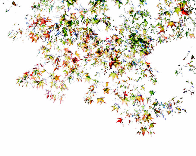 Impression of Maple Leaves White Background Beauty In Nature Nature Tree Branch Abstract Leaves Maple Leaves Colors Seasons Silhouette Orange Color Red Green Summer Autumn Autumn colors Background Impression Artistic Photo