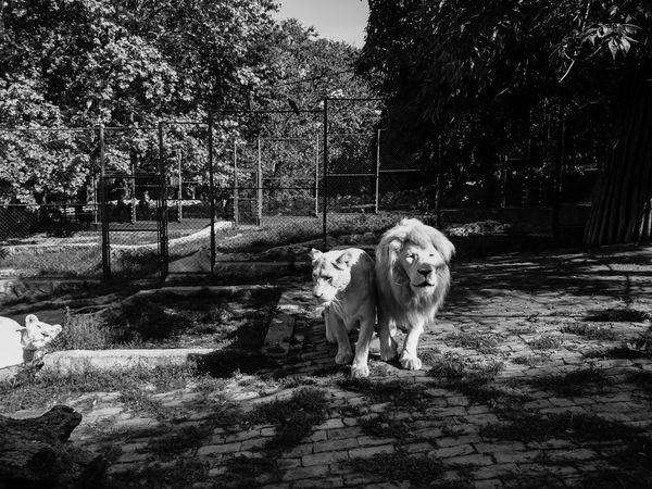 Lions ♥ | Animals Animals In The Wild Black & White Black And White Black And White Photography EyeEm Animal Lover EyeEm Best Shots EyeEm Best Shots - Black + White EyeEm Gallery EyeEm Nature Lover EyeEm Nature Lovers King Of The Jungle Lion Lion King  Lions Lions Head Nature No People Non-urban Scene Outdoors Portrait Showcase May Zoo Zoo Animals