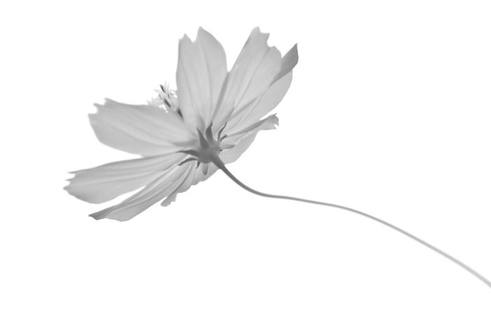 Flower Freshness Close-up Single Flower Beauty In Nature Nature White Background Monochrome Monochrome Photography コスモス 秋桜 Cosmos キバナコスモス