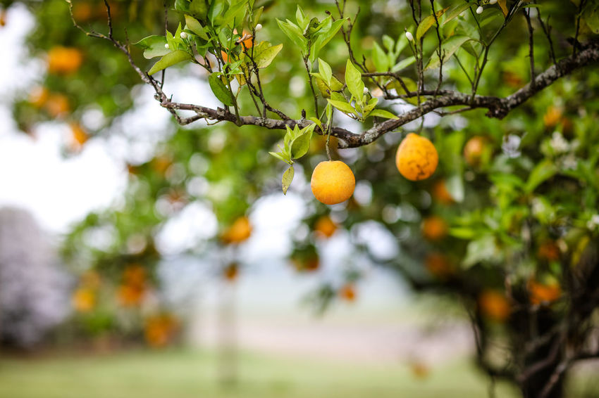 Oranges Orchid Branch Citrus Fruit Day Food Food And Drink Freshness Fruit Fruit Tree Growth Healthy Eating Nature No People Orange Orange - Fruit Orange Tree Oranges Outdoors Plant Ripe Selective Focus Tree