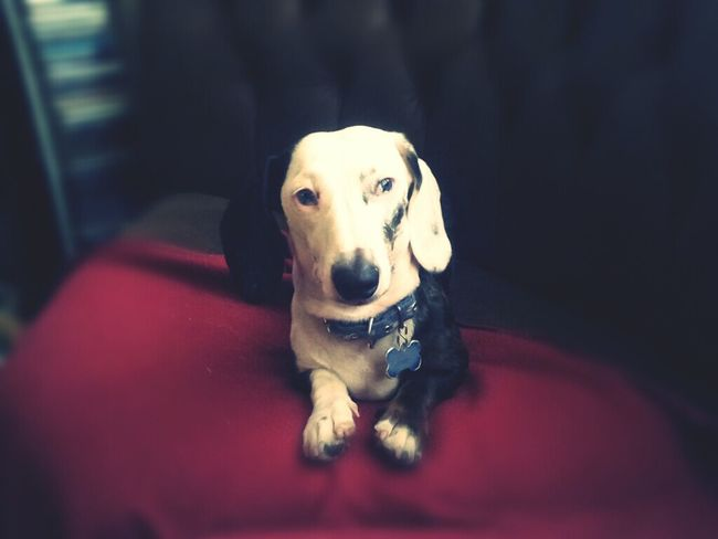Short paws baby ♥ My Dog Is Cooler Than Your Kid. My Dogs Are The Joy Of The House Ilovemydachshunds Dachshundlovers