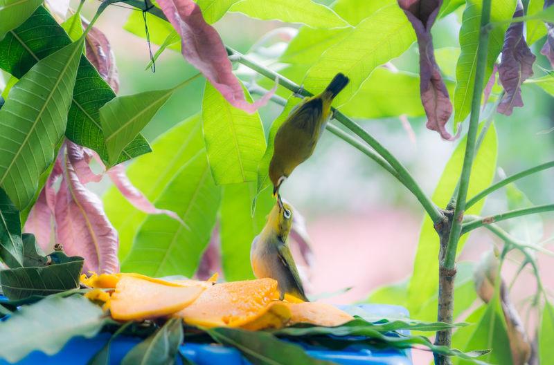Feeding  Love LoveBirds ❤ Bird Bird Themes Caring For Each Other Mangos Sweet