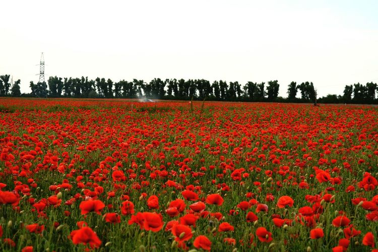 Red tulips blooming on field against clear sky
