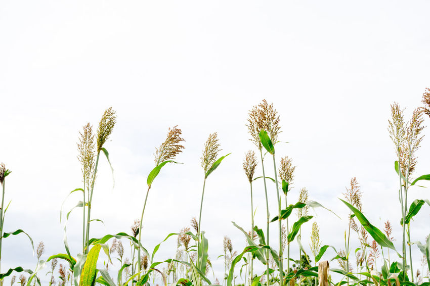 Agriculture Beauty In Nature Bicolor Cereal Plant Clear Sky Close-up Day Field Freshness Green Color Growth Nature No People Outdoors Plant Rural Scene Sky Sorghum Sorghum Bicolor Tranquility