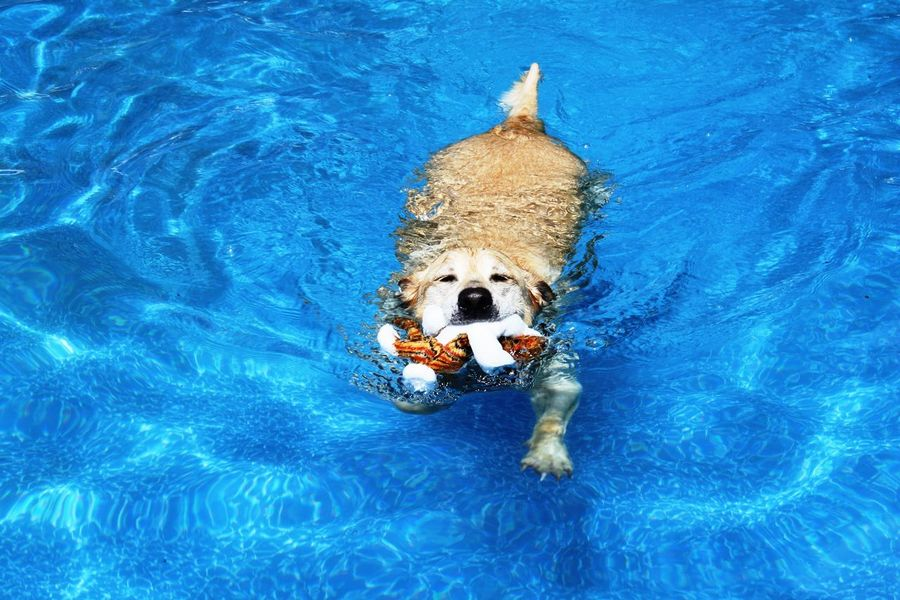 No People One Animal Outdoors Swimming Swimming Pool Water Yellow Labrador