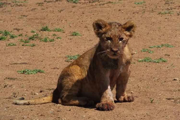Portrait of lion cub sitting on ground