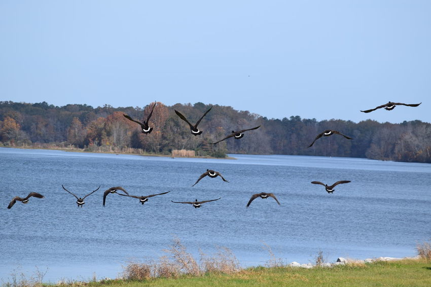 Beauty In Nature Bird Flying Nature No People Outdoors Tranquil Scene Water Wildlife Geese Geese In Flight Geese Photography Lowndes County Alabama Alabama Outdoors