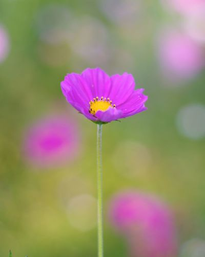 Flower Fragility Pink Color Nature Insect Focus On Foreground Freshness Purple Plant Outdoors Beauty In Nature No People Day Growth Multi Colored Close-up Defocused Flower Head Zinnia  Cosmos Flower 秋桜 コスモス Japan Photography Pink Flower 🌸 Day Time Photography