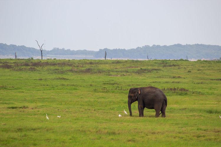 Elephant grazing in a field