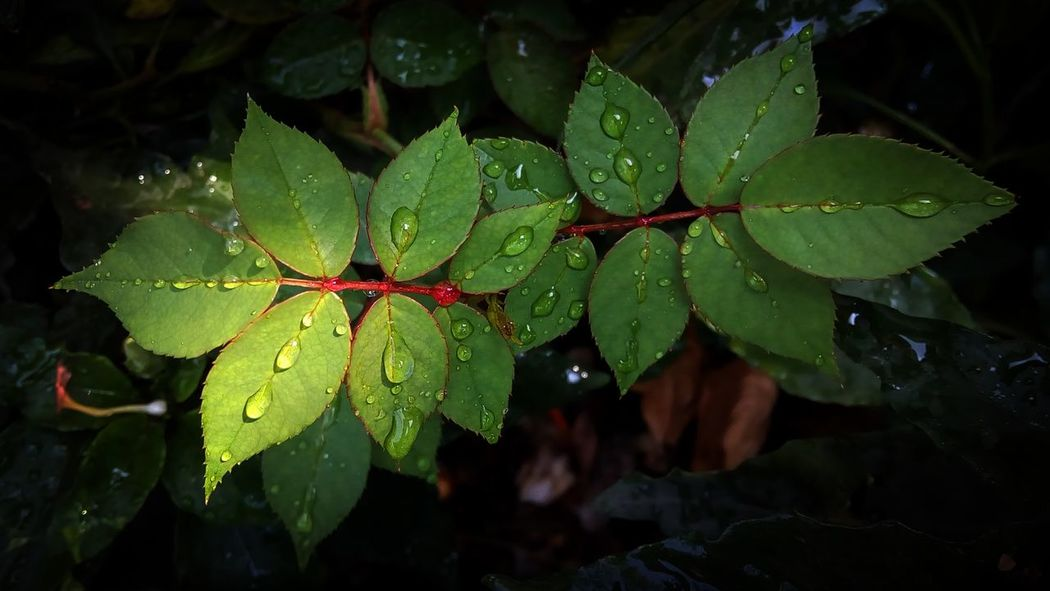 Sun and Shade.. Leaf Wet Drop Water Nature Rain Green Color Beauty In Nature Close-up Freshness Outdoors Rainy Season Growth No People Autumn Plant RainDrop Day Raindrops On Leaves Rose Leaves Rose Plant Green Leaves Nature Sun And Shade