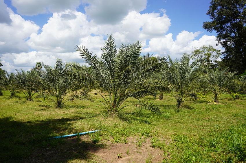 Barhi Dates Dates On Date Palm Barhi Date Palm Date Palm Garde Date Palm Tree Date Palms Environment Plant