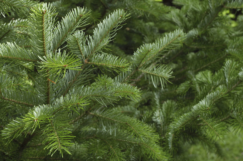 Spruce tree branches close-up. Christmas background. Backgrounds Beauty In Nature Branch Close-up Coniferous Tree Day Fir Tree Focus On Foreground Full Frame Green Color Growth Leaf Nature Needle - Plant Part No People Outdoors Pinaceae Pine Tree Plant Plant Part Tranquility Tree Tree; Green; Spruce; Fir; Environment; Forest; Nature; Tree Branch; Park; Plant; Forestry; Needle; Pine; Background; Decoration; Twig; Wooded; Urge; Lush; Trunk; Botany; Vegetation; Timberland; Detail; Coppice; Pine Forest; Wood; Coniferous; Conifer; Xmas