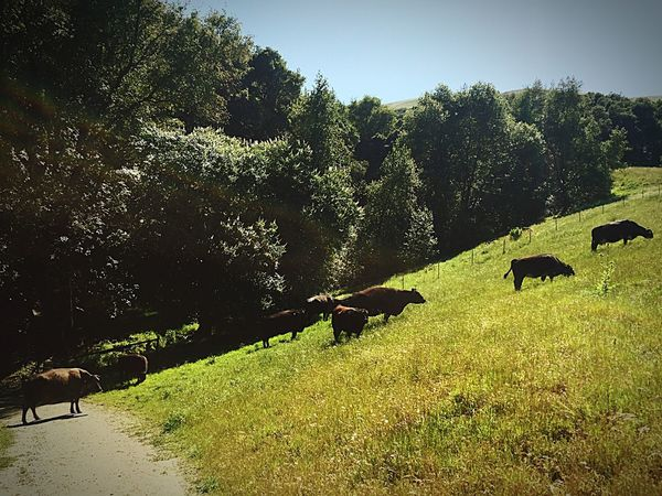 Cows Grazing Cows Blocking My Way Views From A Hike Las Trampas California Green Hills Green Hillside Spring Springtime