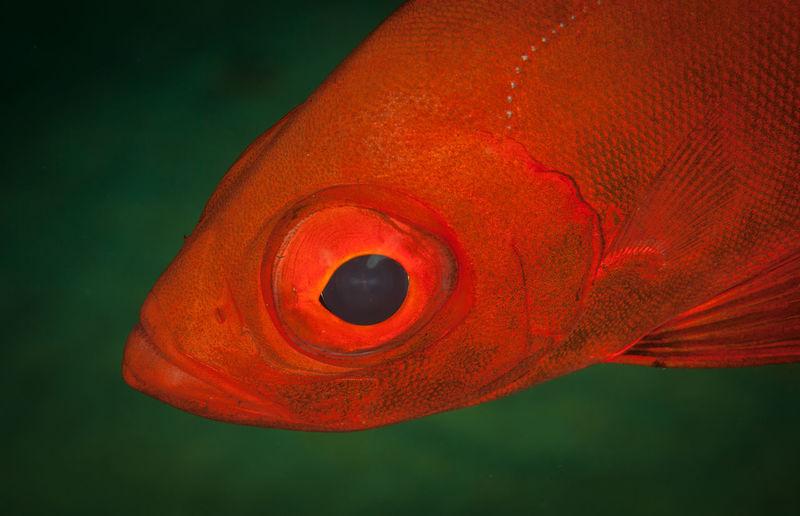 Close-up of orange fish