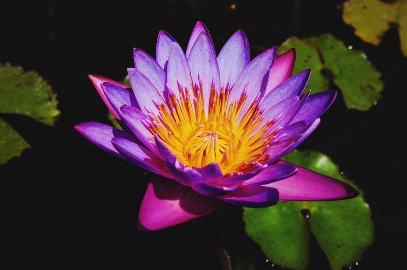 Lotus Flower Colors Purple Water Beauty In Nature Fujifilm The Week Of Eyeem