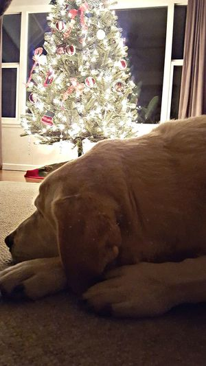 Our perfect kind of Friday Night. Relax Enjoy Family Friday Fun CaptureTheMoment Showcase: December Christmas Is Coming Loyal Lab JessieDog Sweetboy Love Unconditionally LoveOurDog Lazy Cute Cuddlebug PuppyLove Goodnight Its Cold Outside Holiday