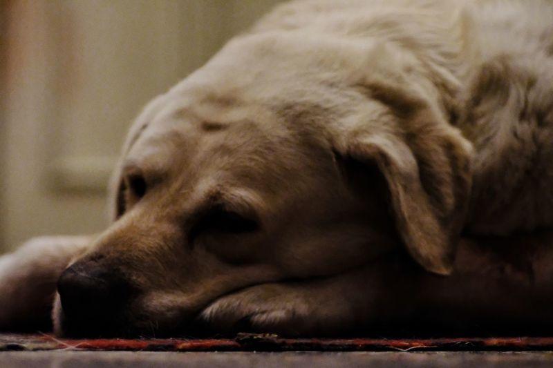 Labrador Labrador Retriever Golden Retriever Dog Pet Pet Portraits Pet Photography  Dogs Of EyeEm Dogs Sleeping Dog Sleeping Portrait EyeEm Selects Statue Sculpture Close-up Pets Dog Lead