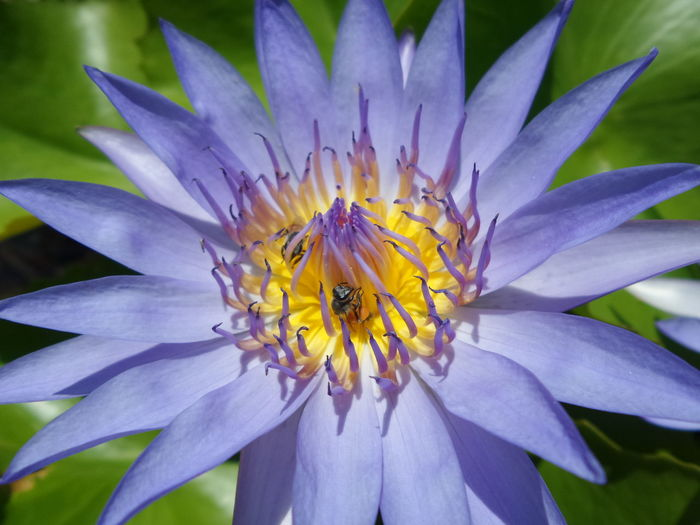 Beauty In Nature Bee Flower Flowering Plant Growth Lotus Nature No People Plant Purple ดอกบัว ดอกไม้ ผึ้ง