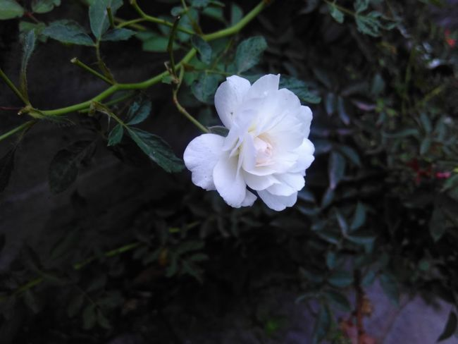 #Rose in front house... #White #Nature Tilted Flower #Sangli MH IN Natural White Rose Wild Rose