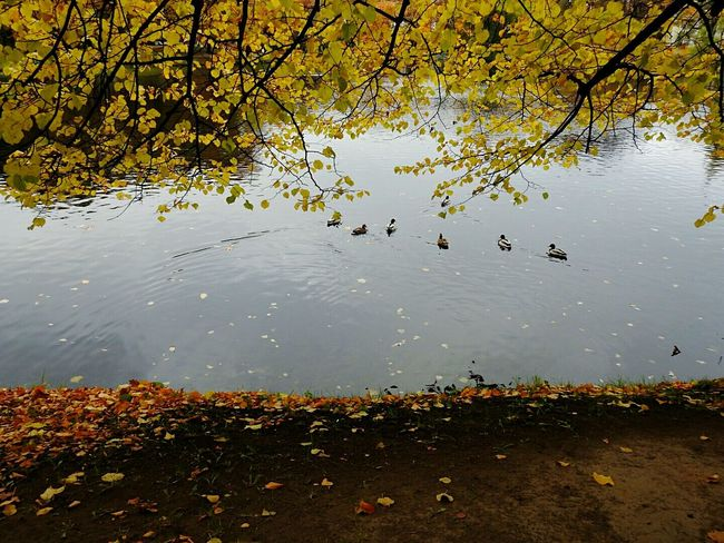 Water Lake Reflection Nature Tree Floating On Water Ducks😄 Autumn🍁🍁🍁 Walking Around Colors Of Sankt-Peterburg Tavrichesky Garden Autumn Fifty Shades Of Yellow Sankt-Petersburg Russia