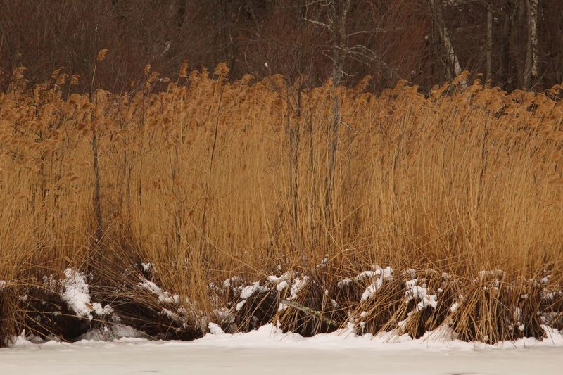 Reeds, Weeds, Marshland, Marsh, Snow Winter Cold Temperature Tree Scenics - Nature Beauty In Nature Plant