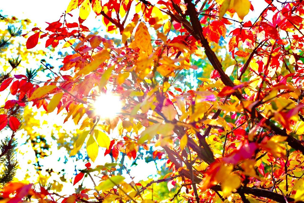 LOW ANGLE VIEW OF AUTUMNAL LEAVES ON TREE