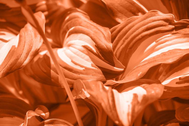 Full frame shot of orange roses