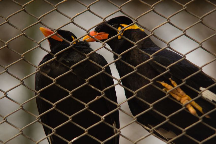 Mynah Animal Themes Bird Cage Chainlink Fence Close-up Day FOCAL MC 80-200 F3.5 No People Outdoors Prison Trapped Vintage Lens Vintage Lens On Modern Camera Wildlife & Nature Zoo