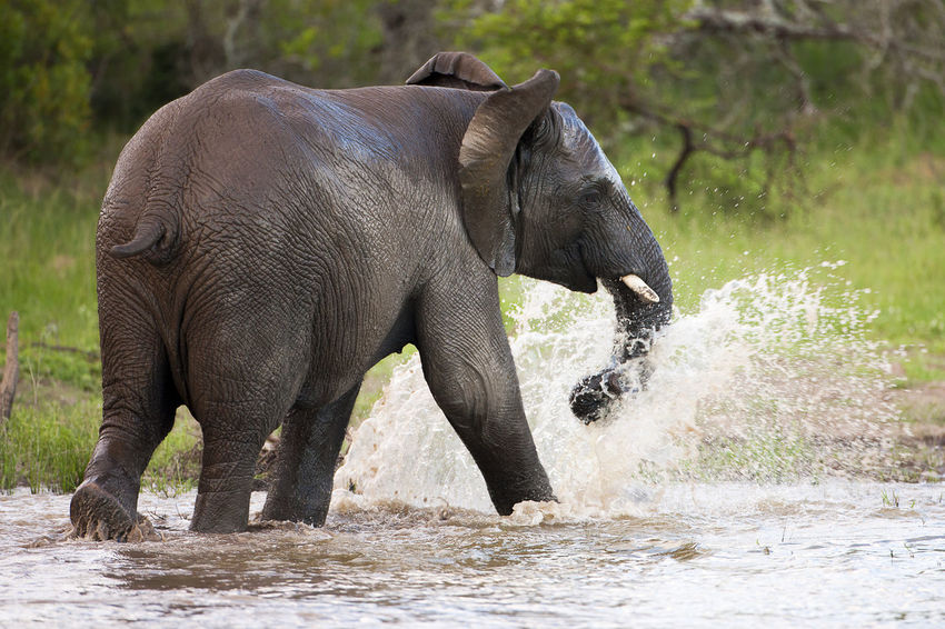 Elephant frolicking in water African Elephant Animal Animal Body Part Animal Themes Animal Wildlife Animals In The Wild Day Elephant Frolicking Mammal Nature No People One Animal Outdoors Splashing Water