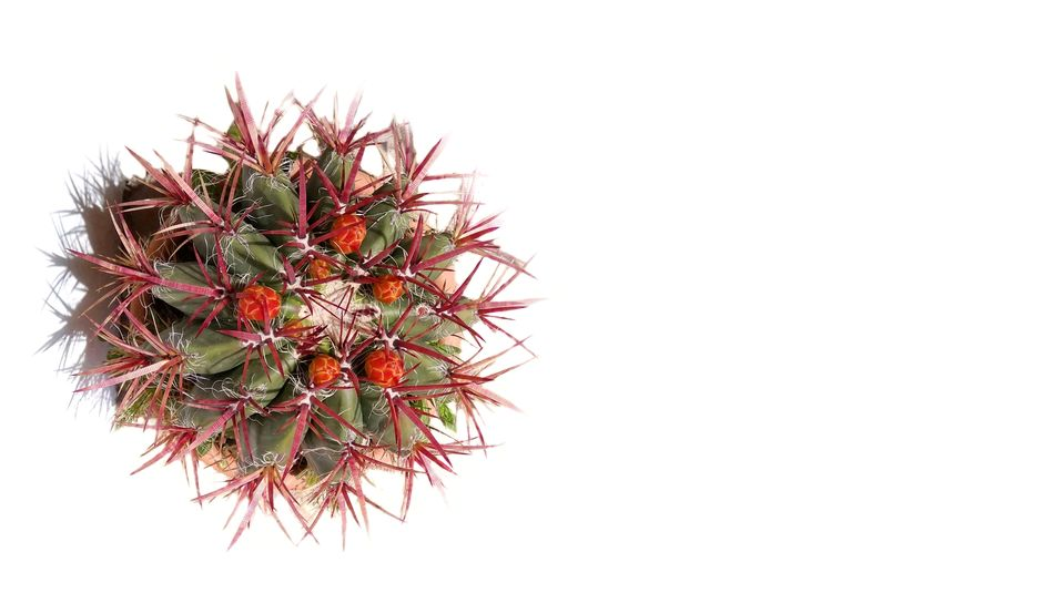 Cactus Cactus Flower White Background White View From Above Summer Views Summertime Summer Full Frame Vacation Minimalism Day Sunny No People Close-up Background Photography Wallpaper Background Travel Travel Destinations Wallpaper Of The Day Relax Tranquility Tranquil Scene Beauty In Nature Mix Yourself A Good Time Your Ticket To Europe Berlin Love The Week On EyeEm EyeEmNewHere Discover Berlin Be. Ready.