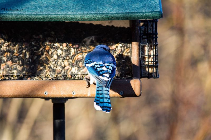 Blue jay perching on bird feeder