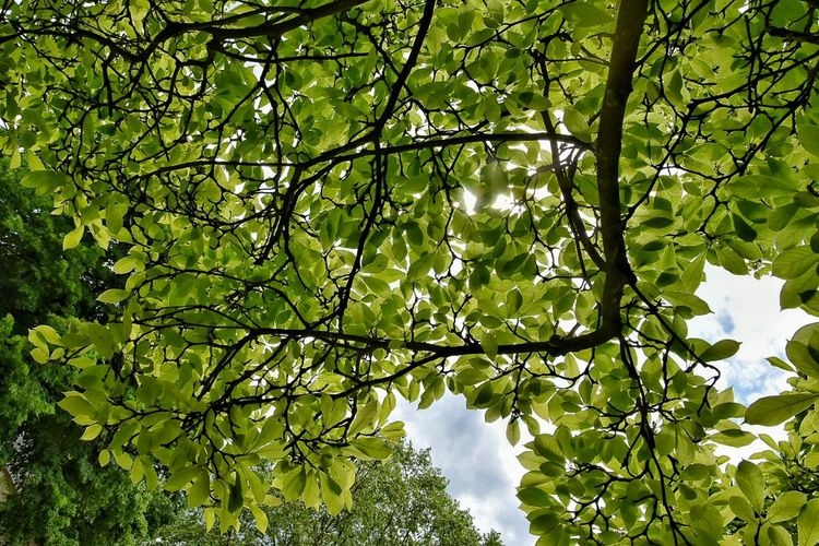 Tree Leaves Green Nature Sun Light Sunlight Sunlight Through Trees Sunlight Filtering Through Trees