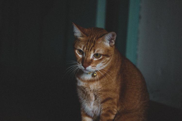 Brown cat looking something