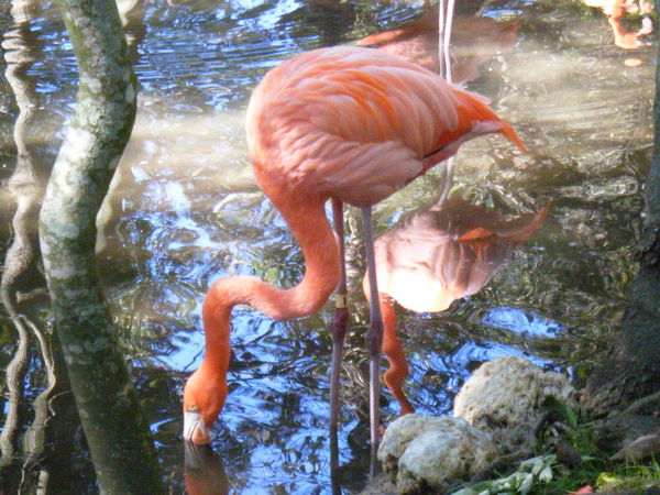 Flamingo Pink Neck Water Bird Reflection Ripples