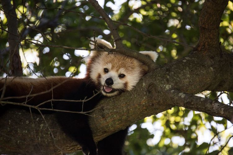 Portrait Of Red Panda Relaxing On Tree