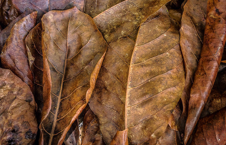 Dying leaves... and at the end, it seems that leaves do not fall off away from the tree Autumn Backgrounds Beauty Beauty In Nature Brown Change Close-up Day Desert Full Frame Leaf Nature No People Outdoors Pattern Rock - Object Textured  Travel Destinations