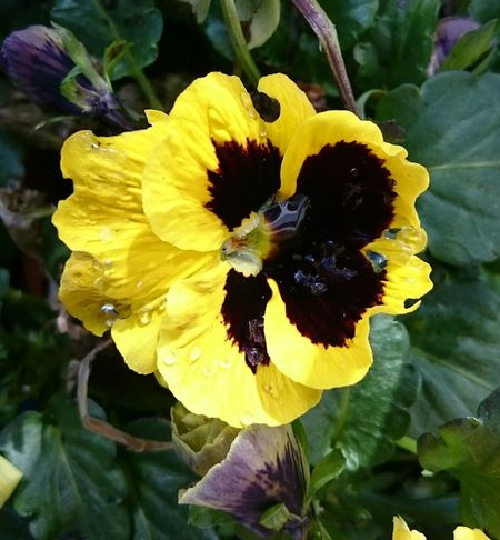 Pansy... Flower Yellow Fragility Petal Nature Leaf Close-up Plant Freshness Flower Head No People Beauty In Nature Outdoors Day Growth Multi Colored