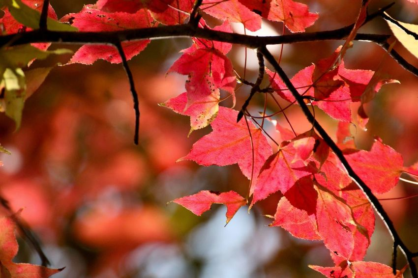 Photo By Eric Tam Getty Images Be. Ready. Composition EyeEmNewHere Lines Taking Photos The Week On EyeEm Travel Autumn Beauty In Nature Branch Change Fragility Growth Leaf Maple Leaf Nature No People Outdoors Red Yuen Long